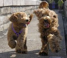 LABRADOODLES. Pretty sure this is the kind of dog I will someday have.