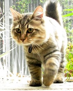 Today, let's learn some things about the affectionate #American_Bobtail cats! http://www.sweetiekitty.com/cat-breed/american-bobtail/