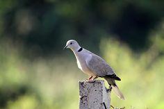 My Birding Trails...: A symbol of peace ....
