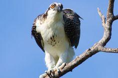 Osprey - Sanibel Island