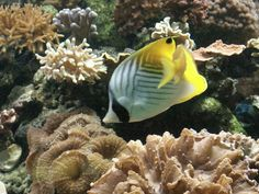 http://faaxaal.forumactif.com/t260-poisson-papillon-a-queue-jaune-chaetodon-auriga-papillon-cocher-threadfin-butterflyfish