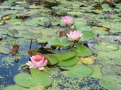 Le Jardin des Nénuphars au Temple-sur-Lot, France-Lot et Garonne_l'invitation à la sérénité