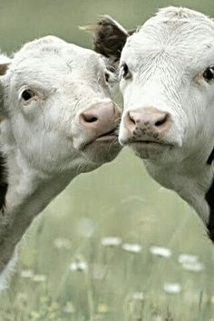•(★)• beautiful sentient beings with rich emotional lives who want to live. If you care about others go vegan. There is no other option.