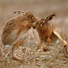Two hares box as part of their courtship ritual in the Scottish borders. The phrase 'mad as a march hare' comes from this display of boxing