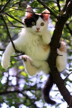 Cats are extremely athletic animals with a muscle composition and physic well built for climbing. They can quickly and easy climb up trees. Their claws however are constructed for climbing up and not climbing down, this is one of the main reasons they usually get stuck in trees. More »