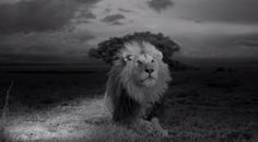In the photo the lighting as well as the darkness hits the lion so that he appears to be three dimensional. It also makes the photo more dramatic. This photo exemplifies the Chiaroscuro Method of lighting.