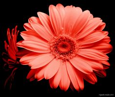 Red gerbera flower heads by Vigentle  on 500px