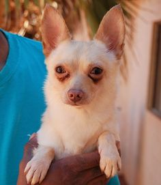 Darwin - Nevada SPCA - 6 year old Blond Longhair Chihuahua, neutered - Darwin is gentle and lovable.  He is housetrained & crate-trained.  He is good with cats, dogs, and kids.