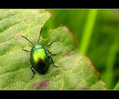 beauty bug`