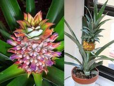 Coltivare una pianta di ananas in casa è davvero semplicissimo: tutto quello che dovrete fare è comprare un'ananas! Facilissimo da curare, l'ananas vive perfettamente in casa mentre in estate può anche essere trasferito Green Garden, Garden Plants, Old Farm, Types Of Plants, Poinsettia, Natural, Flower Arrangements, Pineapple, Diy And Crafts