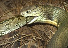 :::::SUJITH SPOT:::::: Unbelievable Facts about King Cobra(World's longest…