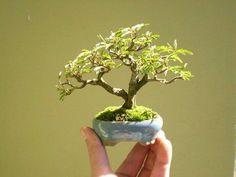 How to care for your Ficus Bonsai Mini Bonsai, Indoor Bonsai Tree, Bonsai Plants, Bonsai Garden, Bonsai Trees, Ikebana, Bonsai Mame, Nothing But Flowers, Plantas Bonsai