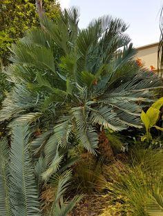 E.prinseps  Jan.2017 Jan 2017, Herbs, Plants, Herb, Plant, Planets, Medicinal Plants