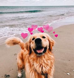 """Discover additional details on """"golden retriever puppies"""". Visit our website. Cute Funny Animals, Cute Baby Animals, Animals And Pets, Cute Animal Pictures, Dog Pictures, Cute Dog Photos, Cute Dog Wallpaper, Dog Wallpaper Iphone, Cute Dogs And Puppies"""