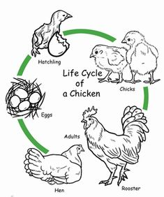 Explore life science with this informative chicken life cycle worksheet. Help your student color and learn the names of each stage of a chicken& life. Montessori Science, Kindergarten Science, Teaching Science, Student Learning, Science Student, Science Fair, Science Lessons, Life Science, Science Notes
