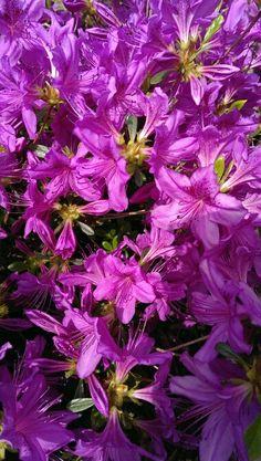 A moment of Purple.... Azaleas.