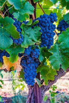 Wine grapes from Brentwood, California