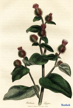 """From Ed Smith's personal library: Stephenson & Churchill, """"Medical Botany"""": Herbs Illustration, Botanical Illustration, Healing Herbs, Medicinal Plants, Botanical Flowers, Botanical Prints, Secret Life Of Plants, Herb Art, Herbs For Health"""