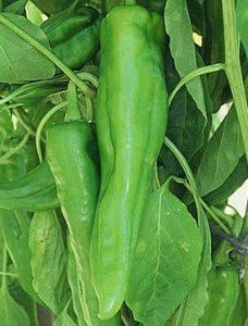 """Nu Mex Big Jim Chili Pepper 4 Plants by Hirts: Pepper Plants. Save 25 Off!. $5.99. Perfect for Chile Rellenos !. This is a """"Pre-Order"""". Shipping begins on March 1st! Disregard the initial shipping email if purchased before your shipping date. A tracking number will migrate to your account when the plants actually ship.. Large elongated peppers. Great flavor with just the right amount of heat. One of our more popular peppers. HOT PEPPERS: When Wilbur Scoville first devised a means to ..."""
