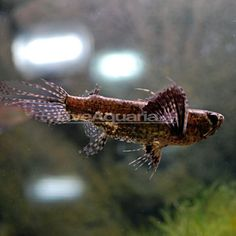 "African Butterflyfish $14.99, 30G min, aggro, high tropical fresh, carnivore, 4"" max"
