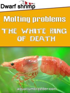 Dwarf shrimp and Molting problems. The White Ring of Death  Dwarf shrimp, freshwater crabs, crayfish, , diet, food, feeding, care, maintenance, problems, treatment, molting, growth.