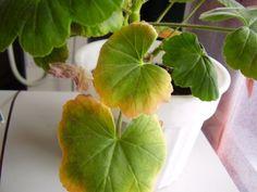 Почему желтеют листья у герани, и сохнут? Причины. Что делать? Основные болезни герани. Начать нужно с оценки горшка, в котором «сидит» цветок.