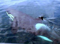 Killer whales  Johnstone Straight by vermillion$baby, via Flickr