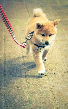my new favorite type of dog. Shiba inu pup via Akita, Cute Puppies, Cute Dogs, Dogs And Puppies, Doggies, Chien Shiba Inu, Baby Animals, Cute Animals, Hachiko