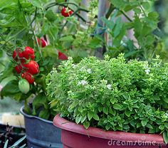 Container Gardening Basil And Tomato - Download From Over 50 Million High Quality Stock Photos, Images, Vectors. Sign up for FREE today. Image: 15541623