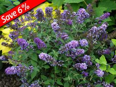 """Buddleia Blue Chip Compact! Under 3' tall! Loved by butterflies! Highly fragrant flowers rebloom from mid summer till frost Drought tolerant Flowering Shrub View all Buddleias Zone 5,6,7,8,9 Blooms Mid Summer thru fall 24-30"""" x 24"""""""