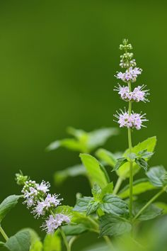 Spearmint essential oil is gentle enough to use topically or while cooking without losing any of its freshness.Learn more about its benefits and how to use it with Flex5 Aromatherapy Consult!