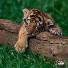I'm in love with this tiger cub!