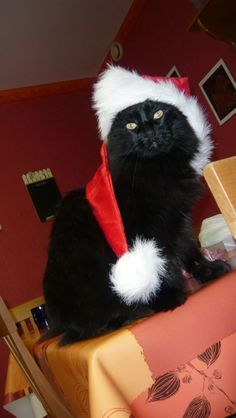40 Cutest Santa Cats to Make Your Christmas Delightful Christmas Kitten, Christmas Animals, Black Christmas, I Love Cats, Crazy Cats, Cool Cats, Curious Cat, Cat Hat, Here Kitty Kitty