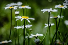 Daisies by Pricope Marian on 500px
