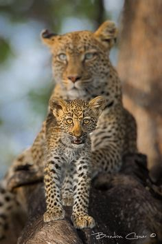 """""""Inquisitive"""", A leopard cub walks down the branch to get a better look at us under the watchful eye of his mother. Machaba Camp, Khwai, Botswana by Brendon Cremer on Animals And Pets, Baby Animals, Cute Animals, Wild Animals, Mundo Animal, My Animal, Beautiful Cats, Animals Beautiful, Big Cats"""