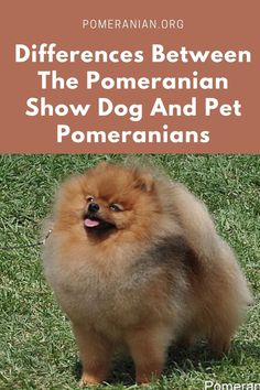 Pomeranian White Dog Keyring or Fridge Magnet Novelty Gifts