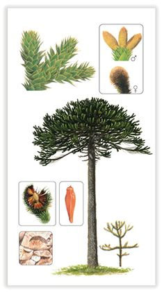 We have a lot of these petrified at the museum! Botanical Drawings, Botanical Illustration, Monkey Puzzle Tree, Weird Trees, Bike Tattoos, Conifer Trees, Planting Plan, Plant Identification, Parts Of A Plant