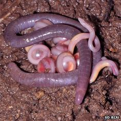 A new caecilian family found in Asia! Sweet!