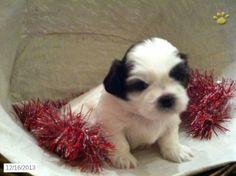 Diamond Shih Tzu Puppy For Sale In Lebanon Pa Shih Tzu