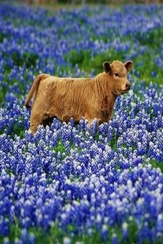JUST PLAIN COUNTRY CHARM... A calf in a field of bluebonnets.