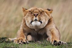 The Story Behind The Shot: Stretching Lioness  http://iso.500px.com/stretching-lioness-photo/?utm_source=500px&utm_medium=facebook&utm_campaign=july31_1030AM_stretching-lioness-photo