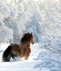 A wild horse running in the snow