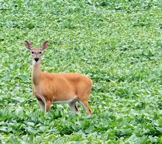 A Doe in a soy been field.This picture made it into the local newspaper. Baby Names Scottish, Moose Deer, Weather Network, The Locals, Wild Animals, Newspaper, Nature, Photography, Naturaleza