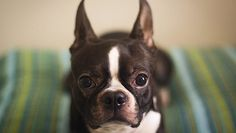 Boston Terrier Puppies: Cute Pictures And Facts