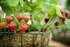 Tips for growing strawberries - Ben Pipe Photography/ Photolibrary/ Getty Images