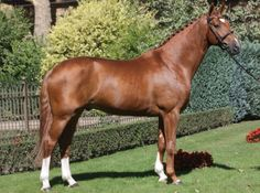 Westphalian stallion Basic