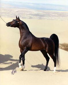 Simeon Shai, US Triple Crown winner and World Champion Stallion Please visit barngirl.com for more.