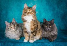 Our breeding family: Kurilian bobtails Bobtail Cat, Cattery, Cats, Animals, Gatos, Animales, Animaux, Animal, Cat