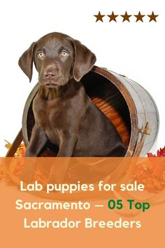 Lab puppies for sale Sacramento through reputed Labrador breeders end happily. We have collected such sources that will... #labpuppies #labpuppiesofinstagram #Labrador #labradorretriever Silver Labrador Puppies, Silver Labrador Retriever, Labrador Puppies For Sale, Best Puppies, Retriever Puppy, Labrador Breeders, Silver Labs, Getting A Puppy, Puppy Food
