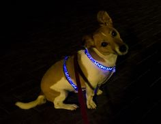 Stylish Paws Blue LED harness!